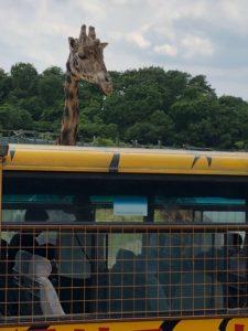 バス越しの那須サファリパークのキリン