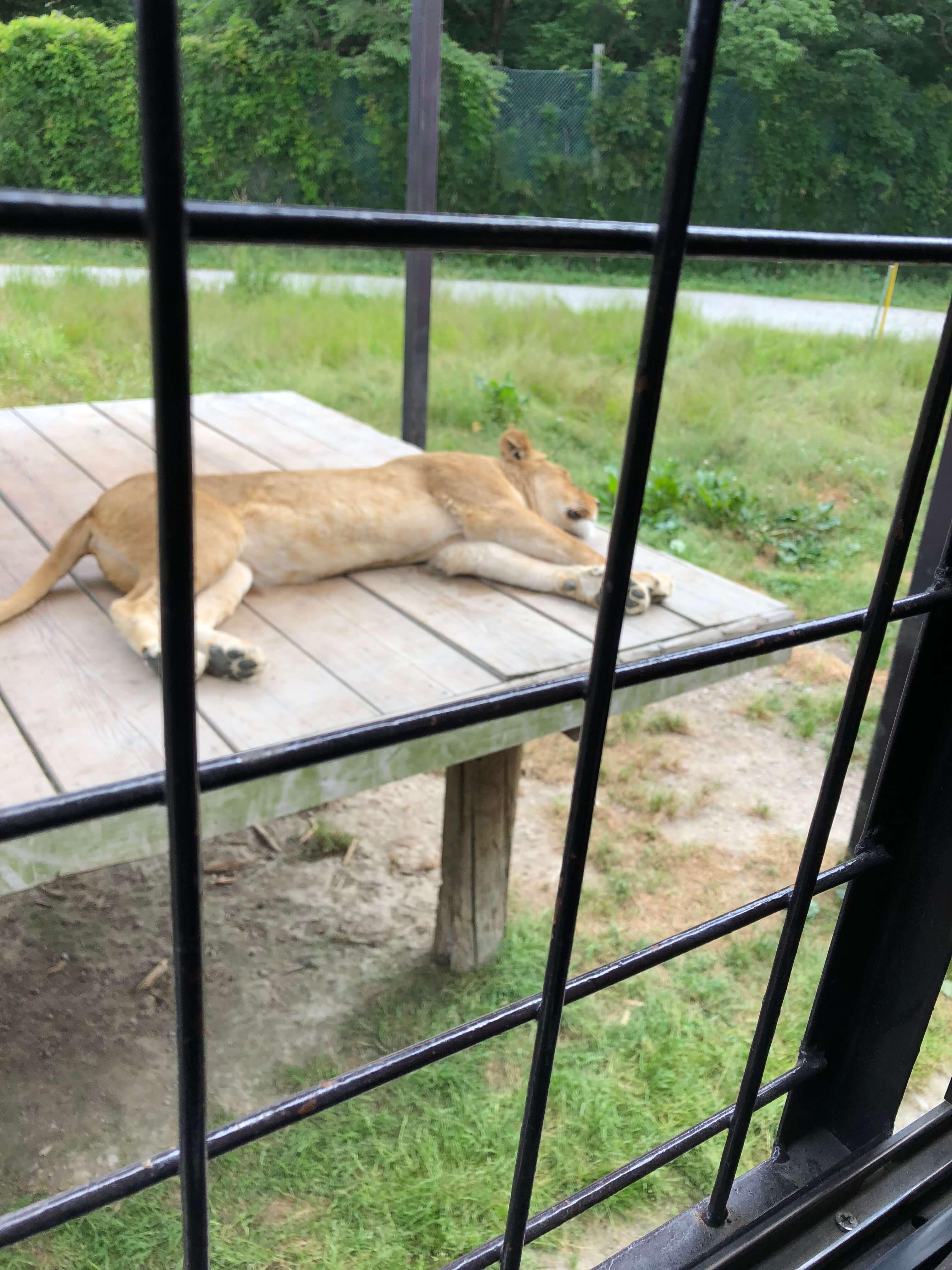 那須サファリパークの寝ているライオン